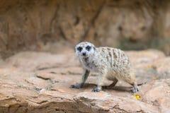 Single meerkat looking for hunter animal Stock Photos