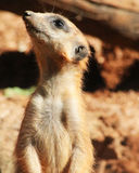 Single Meerkat profile looking up Stock Photography