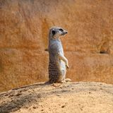 Meerkat stands on ground. Single meerkat species: Suricata suricatta is standing on ground and watching what`s going around royalty free stock photo