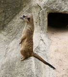 Single meerkat is standing. Mammal, meerkat, zoo africa animal  brown creature, desert, family hair Royalty Free Stock Images