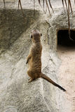 Single meerkat is standing. Mammal, meerkat, zoo africa animal  brown creature, desert, family hair mongoose nature safari small south standing wilderness Stock Photos
