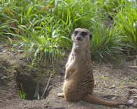 Single meerkat standing up in the grass Royalty Free Stock Image