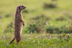 Single meerkat standing upright. Lone meerkat standing upright on green pasture in Addo Elephant Park South Africa Stock Image