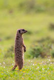 Single meerkat standing upright. Lone meerkat standing upright on green pasture in Addo Elephant Park South Africa Royalty Free Stock Photography