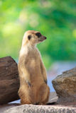 single meerkat Royalty Free Stock Images