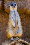 A Single Meerkat or Suricate Standing Watch for the Pack Stock Photos