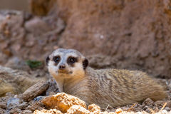 A Single Meerkat or Suricate Taking a Rest in the Shade. Royalty Free Stock Images