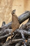 Single Meerkat on tree trunk royalty free stock photography