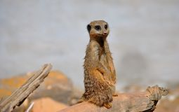Single Meerkat. On watch wild life wildlife rodent nature natural cute friendly mammal Royalty Free Stock Photo