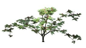 Single Mimosa tree with blossoms. Isolated on withe background royalty free stock image
