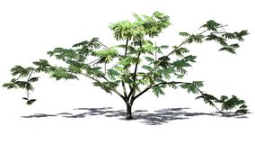 Single Mimosa tree - isolated on withe background. Single Mimosa tree with shadow on the floor - isolated on withe background royalty free stock photography
