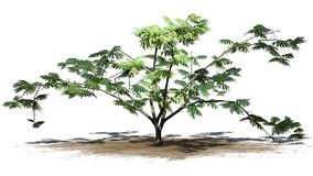 Single Mimosa tree on a sand area. With shadow on the floor - isolated on withe background royalty free stock photography