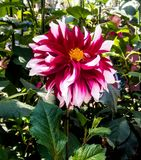 A single minded focus on dahlia stock images