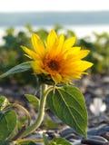 Single mini yellow sunflower growing on lakeshore beach Stock Image