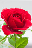 Single miniature red rose. A single miniature red rose against a light grey background royalty free stock photos