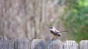 Single Mockingbird Perched on a Fence Top. Against a blurred background on a sunny day Royalty Free Stock Images