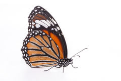 Single monarch butterfly. Isolated on white background royalty free stock photography
