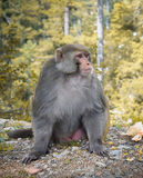 Single Monkey In Forest Royalty Free Stock Photos