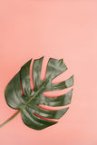 Single monstera palm leaf on coral pink background Royalty Free Stock Photography