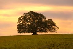 Single Moreton Bay Fig Tree. Solitary Moreton Bay Fig Tree at sunset Stock Image