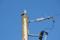 Single Morning Dove Royalty Free Stock Photo