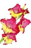 Single motley gladiolus flower isolated on a white background. Single motley red, pink and yellow gladiolus flower with water drops close up, isolated on a white Stock Images