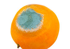 Single mouldy and rotten orange isolated on a Stock Photography