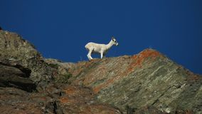 Mountain Goat on Orange Lichen Covered Rocks Stock Images