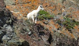 Mountain Goat and Orange Lichen Covered Rocks Royalty Free Stock Images