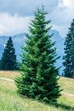 Mountain Tree. Single mountain tree in the Alps Stock Photo