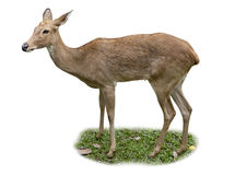 Single Mule Deer Stock Image