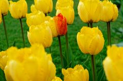 Single multi colored tulip flower inside a field of yellow tulips. Keukenhof garden, Netherlands royalty free stock photos