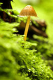 Single mushroom. Close up of a single mushroom Royalty Free Stock Images
