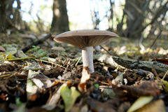 Single mushroom in a forest. On a leafy base Stock Images