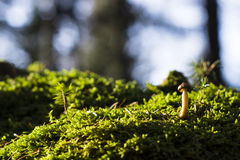 Single mushroom on mossy stone Stock Photos