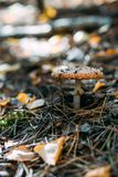 A single mushroom mushroom in the fall foliage. stock photos