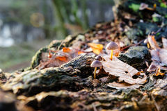 Single mushroom white fungus foreground, beech leaves in autumn forest. Golden sun rays in orange leaves. Dark magic Royalty Free Stock Images
