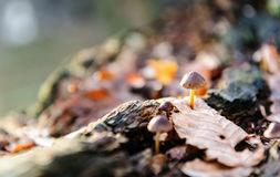Single mushroom white fungus foreground, beech leaves in autumn forest. Golden sun rays in orange leaves. Dark magic Stock Photography