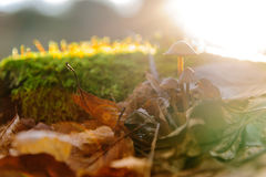 Single mushroom white fungus foreground, beech leaves in autumn forest. Golden sun rays in orange leaves. Dark magic Royalty Free Stock Image