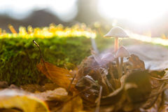 Single mushroom white fungus foreground, beech leaves in autumn forest. Golden sun rays in orange leaves. Dark magic Stock Photo