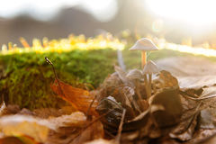 Single mushroom white fungus foreground, beech leaves in autumn forest. Golden sun rays in orange leaves. Dark magic Royalty Free Stock Photos