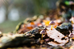Single mushroom white fungus foreground, beech leaves in autumn forest. Golden sun rays in orange leaves. Dark magic Royalty Free Stock Photography