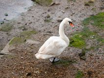 A single mute swan from behind below one foot looking at camera Stock Photos