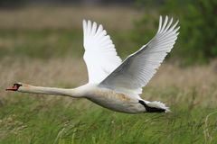 Single Mute swan bird in flight over grassy wetlands during a sp. Ring nesting period Stock Photography