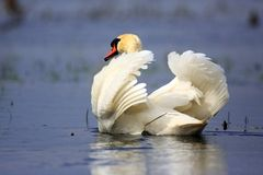 Single Mute swan bird on a water surface in spring nesting season. Single Mute swan bird on a water surface during a spring nesting period stock photos