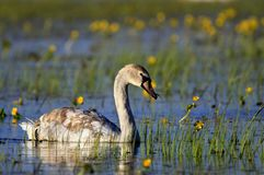 Single Mute swan bird on a water surface in spring season. Single Mute swan bird on a water surface during a spring nesting period royalty free stock photos