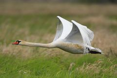 Single Mute Swan in flight over grassy wetlands in spring season Stock Images