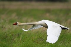 Single Mute Swan in flight over grassy wetlands in spring season Stock Photos