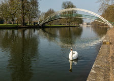 Single mute swan on river Great Ouse in Bedford, England Royalty Free Stock Images