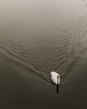 Single mute swan on river Great Ouse in Bedford, England Stock Images